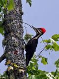 IMG_5051 Pileated Woodpecker - female.jpg