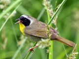 IMG_6273 Common Yellowthroat.jpg