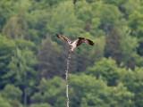 IMG_5502 Osprey.jpg