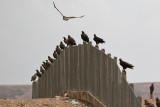 Steppe Eagle's (Aquila nipalensis)