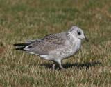 Common Gull (Larus c. canus) - fiskmås