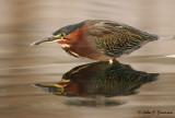 Green-Back Heron from Kayak