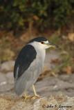 Black-Crowned Night Heron from Kayak