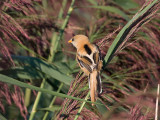 Bearded Tit juv male - Skægmejse- Panurus biarmicus