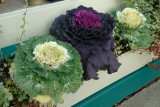 Ornamental Cabbages