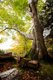 Autum Oak