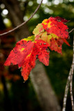 Colors of Maple