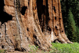 Giant Sequoia (yosemite)