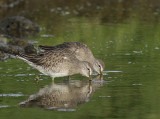 Birds from Azores / Geese to shorebirds