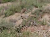Radde's Accentor, Svartkronad järnsparv, Prunella ocularis