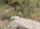 Pale Rock Sparrow, Blek stensparv, Petronia brachydactyla