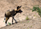Wild Dog Adult