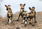 Wild Dog Pups - Checking for crocs