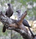 Grey Lourie (Go-away bird)