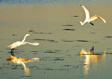 Dueling Great White Egrets