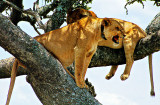 Serengeti Lionesses