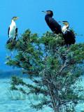 White-breasted Cormorants