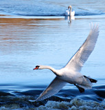 Swan's Escape