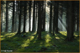 IRELAND - CO.MONAGHAN - ROSSMORE FOREST PARK - WINTER RAYS