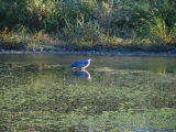 Blue Heron.jpg(161)
