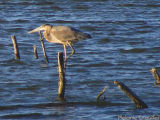 Brown Heron.jpg(186)