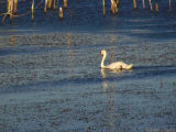 Swan Lake or Swan Marsh.jpg(150)