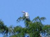 treed heron.jpg(182)