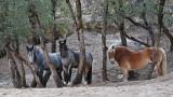 Giant Draft Horses