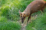 Muntjac in the Grass