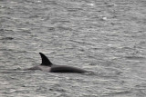 The Gray of the Orca