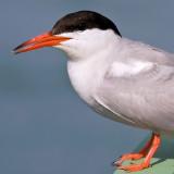Tern Portrait
