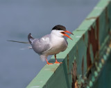 Friendly Tern