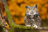 Posing Great Horned Owl