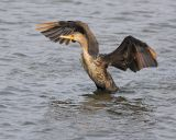 Cormorant Display