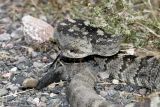 Black-Tailed Rattlesnake - C. molossus molossus