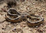 Trans-Pecos Rat Snake - B. subocularis