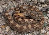 Bull Snake - Pituophis catenifer