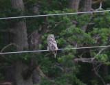 Lappuggla (Great Gray Owl)