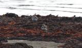 Större Strandpipare (Ringed Plover)