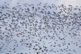 Vitkindad gås (Barnacle Goose)