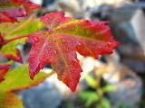 the autumn leaves.jpg