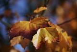 1Autumn Leaves.jpg