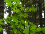 vine maple.jpg