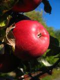 apple on tree.jpg