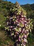 yucca flowers.jpg