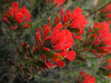 desert paintbrush.jpg