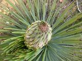 yucca bud.jpg
