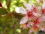 pink desert blossoms.jpg