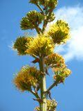 century plant.jpg