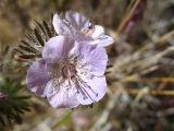 pink desert blossom 2.jpg
